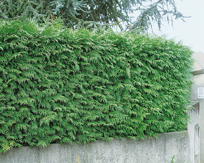 Green Giant Arborvitae is an extremely fast-growing evergreen tree that is very popular for growing into hedges.  It is a hybrid that has great vigor and tolerance to heat and humidity, making it a great choice for growing in the South. It has almost no disease issues and has some deer resistance as well.