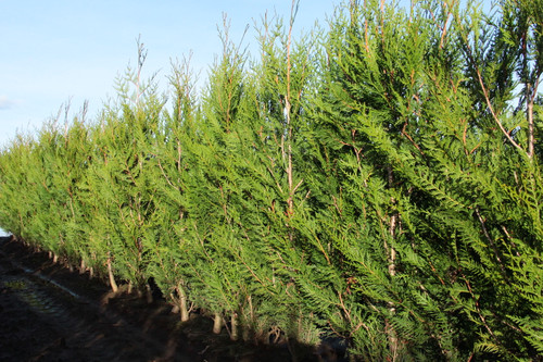 Virescens Western Red Cedar is a fast, upright growing variety of the towering West Coast native tree. It responds very well to shearing and easily creates a large privacy hedge. It can be carefully pruned for a formal look or less pruned for a more relaxed look that is still dense and thick.
