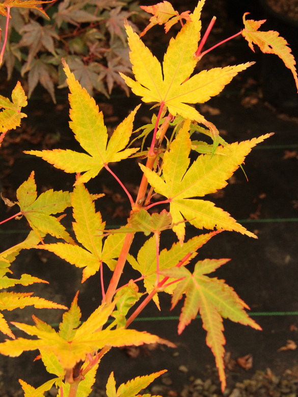 This variety is known for its yellow fall color and bright red petioles and winter bark. One of the brightest-colored cultivars with red twigs!