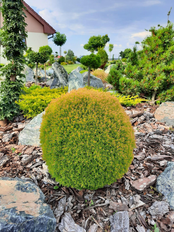 A patented golden, orange, and green highlighted arborvitae that is dense and round in shape. It was found by Franciscus van Gils and Wlodzimierz Flejszer of Skierniewice, Poland in 2005. This conifer is named after his daughter Anniek.
