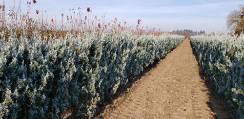 Juniperus scopulorum 'Wichita Blue' _Wichita Blue Juniper_ InstantHedge
