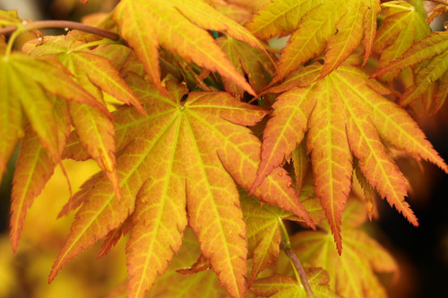 A new variety with some palmatum parentage. Brilliant yellow leaves resemble those of Jordan. A strong, upright grower that is fairly resistant to sunburn. Developed by Crispin's Creations Nursery.