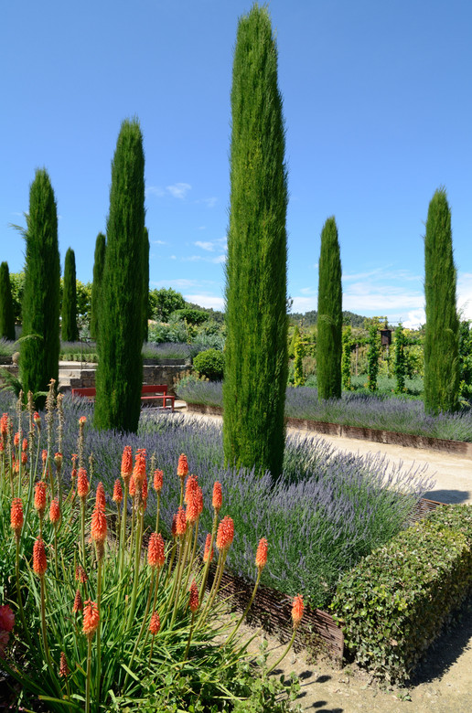 A straight species of the well known Italian Cypress. Dark green scale-like needles enrich this tree that give a nice Tuscan feel to the landscape.