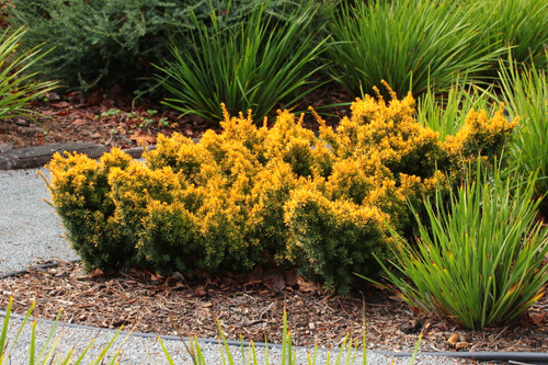 A low-growing, mounding yew with brilliant golden-yellow color that acquires an orange hue in winter.