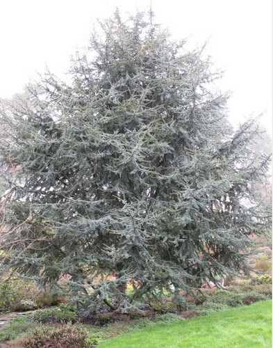 This bright blue cedar has a really brilliant color, making it a popular landscape tree.