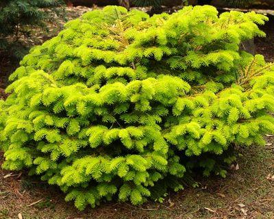Dwarf Conifers 1000 Ornamental Varieties Conifer Kingdom