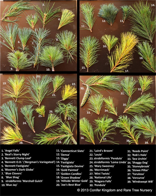 Pinusstrobus