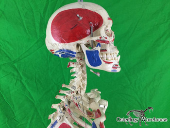 Real Articulated Painted Human Skeleton Anatomy Right Product URL: www.osteologywarehouse.com/real-skeletons/real-articulated-painted-human-skeleton-anatomy-model.html