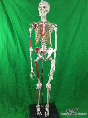 Real Articulated Painted Human Skeleton Anatomy Full Product URL: www.osteologywarehouse.com/real-skeletons/real-articulated-painted-human-skeleton-anatomy-model.html
