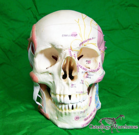 Human Skull Anatomy Model. Cut