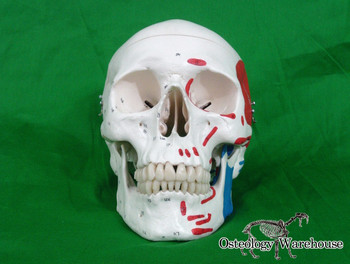 Painted Human Skull Anatomy Model