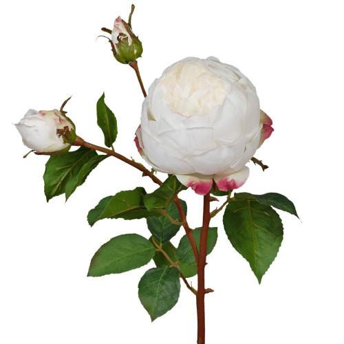 White English Cabbage Rose  -