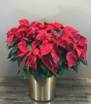The Capitol Hill Poinsettia in Washington DC, Palace Florists
