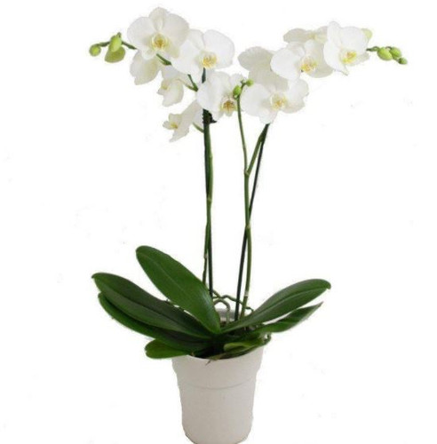 Orchid Standard Double - Showcasing white phalaenopsis orchids in white or black ceramic container in Washington DC and Rockville MD, Palace Florists