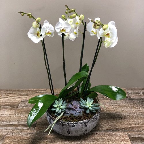 White Phalaenopsis orchids surrounded by succulents in a black ceramic container in Rockville MD, Palace Florists