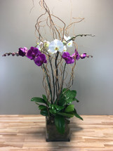 Two double orchids in glass cube with fresh moss and curly willow