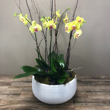 Yellow Orchids - Local Delivery Only - Call for Pricing