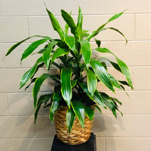 Janet Craig Dracaena - Local Delivery Only