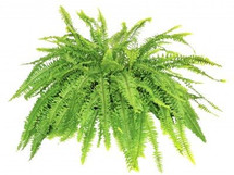 Boston Fern Plant Rental  in Decorative Container