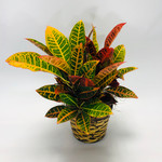 Croton Plant in Rockville MD, Palace Florists