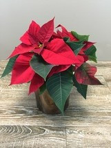 Poinsettias in Rockville MD, Palace Florists