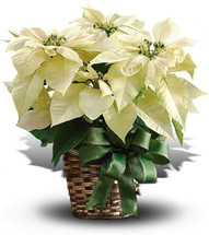White Pointsettia - Washington DC - Rockville - Palace Florists
