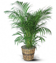 Palm plant rental in decorative container in Washington DC and Rockville MD, Palace Florists