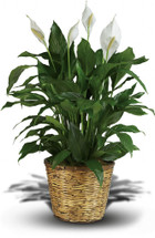 Spathyllum Plant Rental in Decorative Container in Washington DC and Rockville MD, Palace Florists