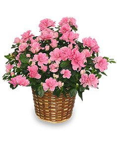 Azalea plant showcasing pink or red blooms in a wicker basket in Rockville MD, Palace Florists