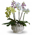 Regal Orchids showcases six orchid plants beautifully displayed in a ceramic container in Washington DC and Rockville MD, Palace Florists