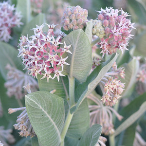 Davis Showy Milkweed, Asclepias specoisa