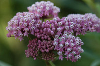 Swamp Milkweed Seed Packet