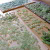 Sorting sea glass for earrings takes 1000's of pieces to make the quality of matches that we can.