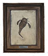 Eurypterus Remipes (Arthropod Reproduction) Upper Silurian Period - Photo Museum Store Company