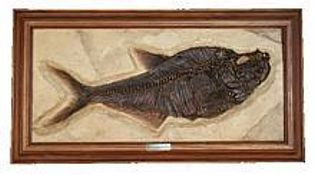 Diplomystus Dentatus (Fish Fossil Reproduction) - Eocene Eposch - Photo Museum Store Company