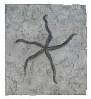 Salteraster (Invertebrate Reproduction) Middle Ordovician Period - Photo Museum Store Company