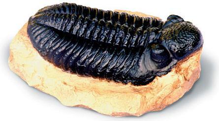 Trilobite - Photo Museum Store Company