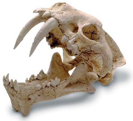 Saber Tooth (Hoplophoneous) Cat Skull with Stand - Photo Museum Store Company