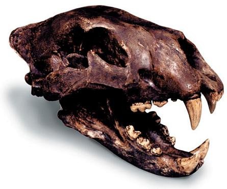 American Lion Skull with Stand - Photo Museum Store Company