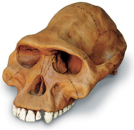 Australopithecus afarensis Cranium with Stand - Photo Museum Store Company