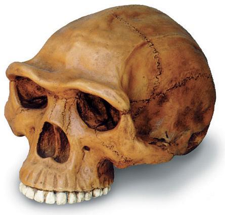 Homo erectus Cranium with Stand - Photo Museum Store Company