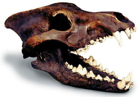 Dire Wolf Skull with Stand - Photo Museum Store Company