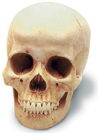 Human Female Skull with Stand - Photo Museum Store Company