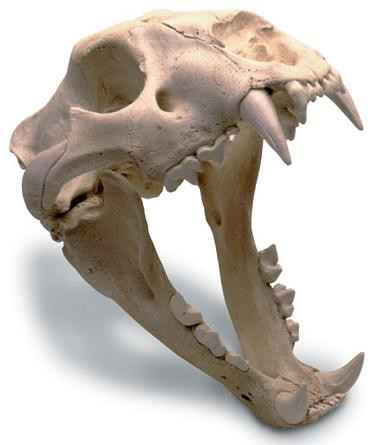 African Lion Skull with Stand - Photo Museum Store Company