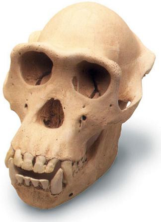 Chimpanzee Skull with Stand - Photo Museum Store Company