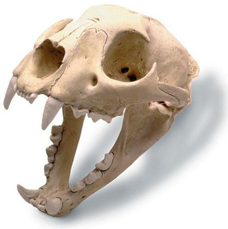 Mountain Lion Skull with Stand - Photo Museum Store Company