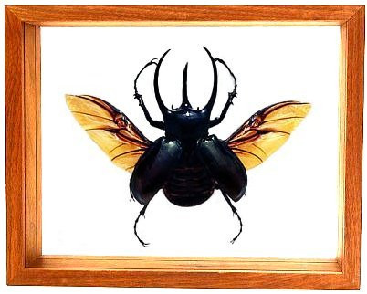 """Chalcasoma Caucasus with wings spread - 8"""" x 10""""  : Beetle Specimen Framed - Photo Museum Store Company"""