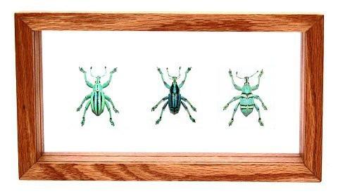 "Eupholus Bennetti - 5"" x  9"" : Weevil Specimen Framed - Photo Museum Store Company"