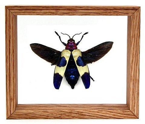 "Chrysochroa Rugicollis - 5"" x 6""  : Beetle Specimen Framed - Photo Museum Store Company"