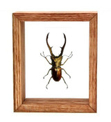 "Cyclommatus Metalifer - 6"" x 5""  : Specimen Framed - Photo Museum Store Company"